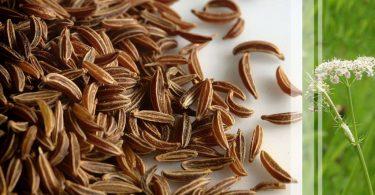 meilleure-graines-carvi